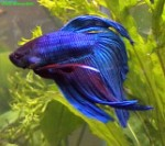 mascul de betta splendens