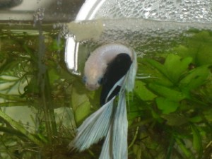 betta splendens sub cuib