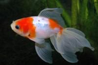 carassius auratus auratus, gold fish