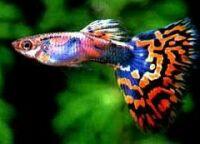 poecilia reticulata, guppy fish
