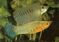 poecilia velifera, molly fish