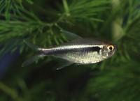 hyphesobrycon herbertaxelrodi, neon negru