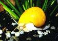 ampullaria, melc de acvariu
