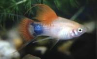 Xiphophorus maculata, platy fish